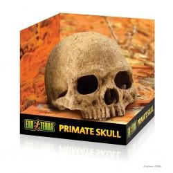 Primate Skull teschio