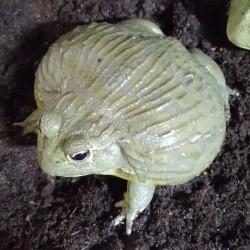 Pyxicephalus Adspersus